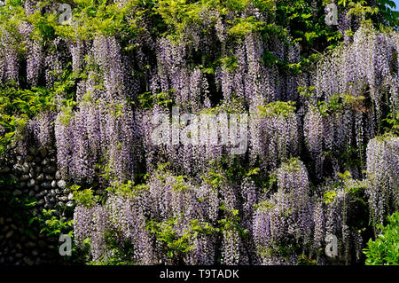 flowering wisteria flowers on house wall exterior, north norfolk, england - Stock Photo