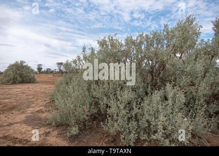 Old Man Salt Bush (Atriplex nummularia) a native Australian shrub that thriving in arid and semi-arid inland regions and grown here to feed livestock. - Stock Photo