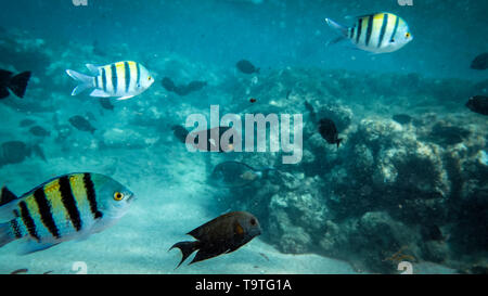 Beautiful under water photo of big colorful coral fish school swimming in the Red sea - Stock Photo