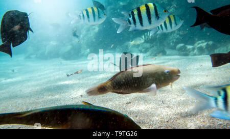 Beautiful underwater photo of lots of colorful coral fishes swimming around dead corel in Red sea - Stock Photo