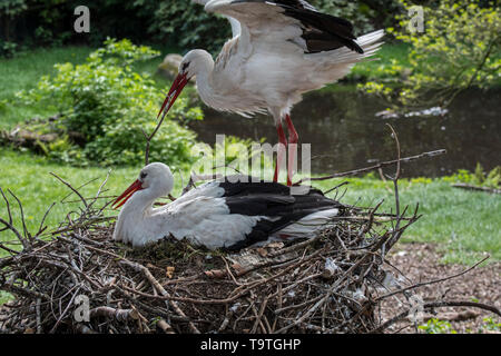 White stork (Ciconia ciconia) male bringing branch for nest building to nesting female in spring - Stock Photo