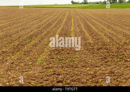 Rows of young plants such as cereals and potatoes freshly planted on a field small seedlings in the spring - Stock Photo