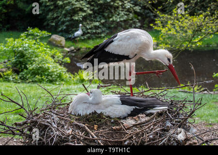 White stork (Ciconia ciconia) couple nesting on huge nest in tree top in spring - Stock Photo