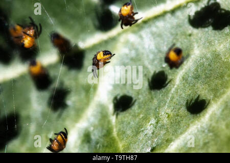 Juvenile orb-weaving spiders on a web - Stock Photo