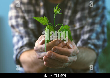 Farmer examining plant growing in peat pot, close up of male gardener holding green sprout and soil container - Stock Photo