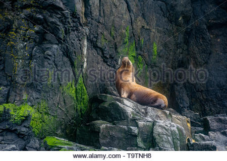 A Sea Lion perched on a rock, posing for tourists in the National Humboldt Penguin Reserve, Punta de Choros, Chile - Stock Photo