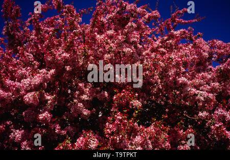 England, Hawthorn, Pink Variation, called Midland Hawthorn (Crataegus Laevigata) in blossom. - Stock Photo