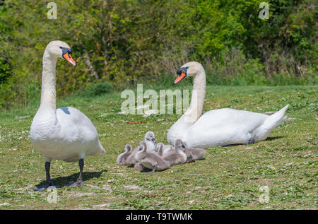 White Mute Swan cygnets (Cygnus olor) sitting on land with adults in Spring in West Sussex, England, UK. Young baby cygnets, newly born. - Stock Photo