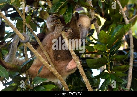 Northern Tamandua (Tamandua mexicana) climbing in a tree, Corozal district, Belize - Stock Photo
