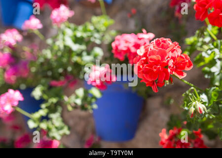 Wall plenty of attached blue flower pots. Geranium flower detail - Stock Photo