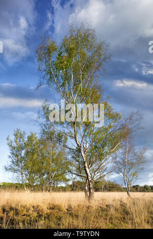 Birch tree, on a heath land with dramatic shaped clouds, Riel, Netherlands - Stock Photo