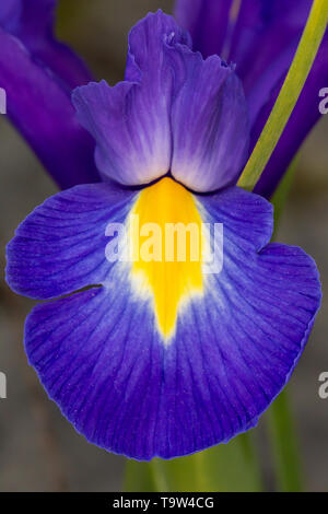 Blue violet Iris Iridaceae flower petal close up on grey background - Stock Photo