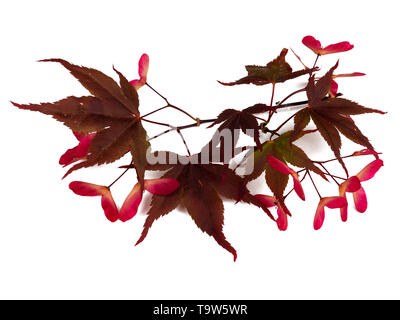 Red winged seeds and red bronze summer foliage of the Japanese maple, Acer palmatum 'Bloodgood', on a white background - Stock Photo