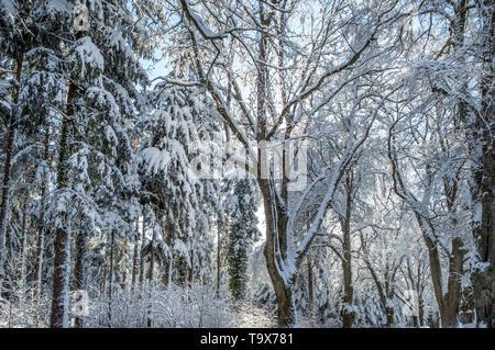 Winter scenery with snowy trees in the wood, Tutzing, Bavaria, Germany, Europe, Winterlandschaft mit Schneebedeckten Bäumen im Wald, Bayern, Deutschla - Stock Photo