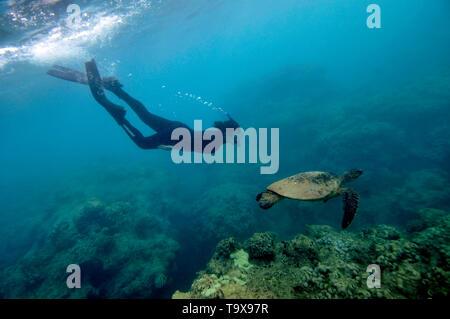 A snorkeler observes a green sea turtle, Chelonia mydas, swimming in Hanauma Bay, Oahu, Hawaii, USA - Stock Photo