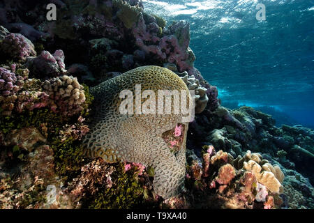 Massive faviid coral colony, Rongelap, Marshall Islands, Micronesia - Stock Photo