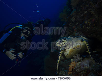 Woman scuba diver (existing model release) and hawksbill turtle underwater enjoying the coral reef of Bunaken National Park, Sulawesi, Indonesia - Stock Photo