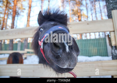 black pony in a pen with wool. Portrait of a pony closeup in winter season. - Stock Photo