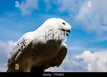 Young arctic snow owl marking its territory high up in the sky - Stock Photo