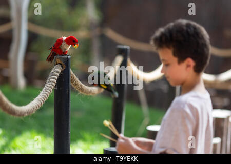 Undefined young boy feeding parrot at Israeli zoo - Stock Photo