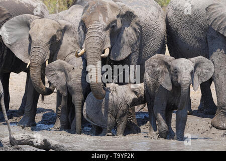 African bush elephants (Loxodonta africana), herd with calves at a muddy waterhole, Kruger National Park, South Africa, Africa - Stock Photo