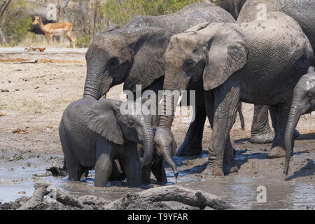 African bush elephants (Loxodonta africana), herd with calves and baby at a muddy waterhole, Kruger National Park, South Africa, Africa - Stock Photo