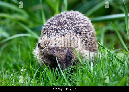 European hedgehog (Erinaceus europaeus) on a garden lawn in East Sussex,UK - Stock Photo