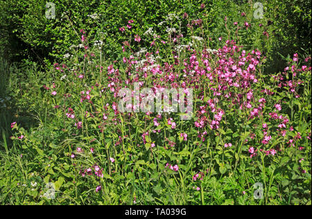 A group of wild flowers, primarily Red Campion, by the Weavers' Way long distance path at Felmingham, Norfolk, England, United Kingdom, Europe. - Stock Photo