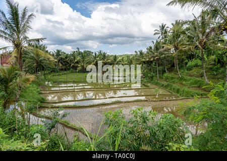 Flooded rice fields and green palm trees near Mount Rinjani in  Lombok, Indonesia - Stock Photo