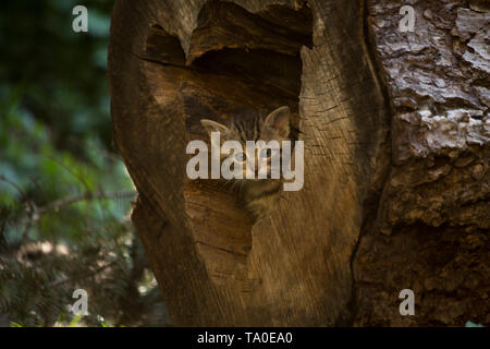 European Wildcat (Felis Silvestris) - kitten discovering the den surroundings, playing and hiding in the hole of a tree trunk. - Stock Photo