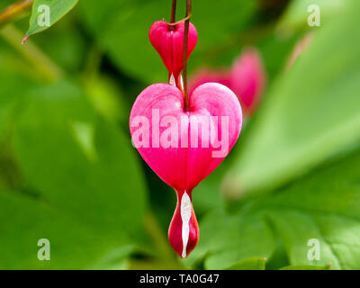 Spring flowers series, Bleeding Heart flower, Dicentra spectabilis - Stock Photo