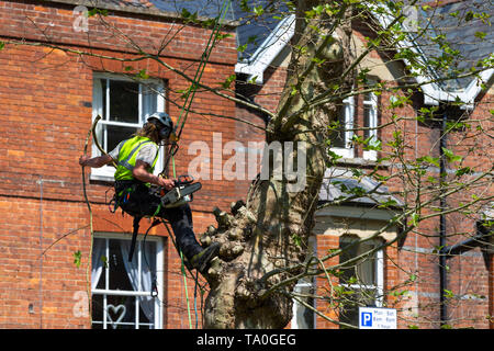Tree surgeon working at height cutting branches with a chainsaw wearing safety harness and hardhat, sunny weather, uk - Stock Photo
