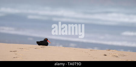 Black African oystercatcher on the beach near Boggams Bay / Mossel Bay, on the Oystercatcher Trail, Garden Route, South Africa.