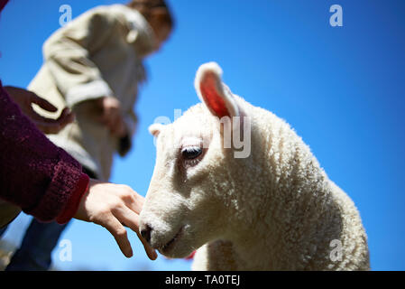 Children playing with and feeding new born lamb on an animal farm in summer sunshine - Stock Photo