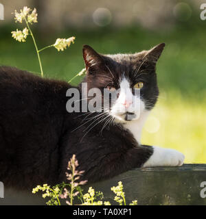portrait of black and white cat with bicolored eyes relaxing in nature - Stock Photo