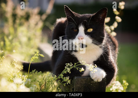 portrait of black and white cat with bicolored eyes enjoying the sun in nature - Stock Photo