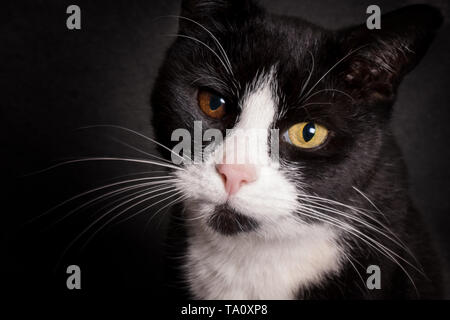 Portrait of black and white cat with bicolored eyes looking at camera - Stock Photo