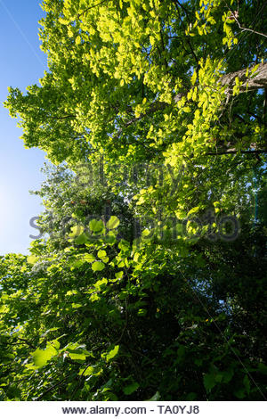 Looking up into a tree canopy against a clear blue sky with slight lens flare emphasising the sunlight. - Stock Photo