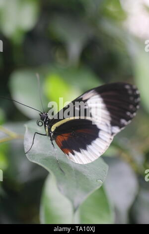 Blue longwing butterfly resting on a leaf - Stock Photo