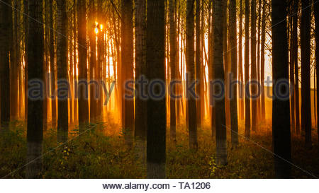Mystic sunlight in the forest, Sunset behind the forest trees - Stock Photo