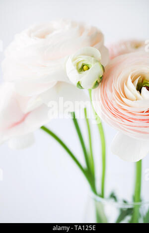 Beautiful tender blossoming of fresh cut bouquet of Ranunculus asiaticus or Persian buttercup in glass vase close-up on white background - Stock Photo