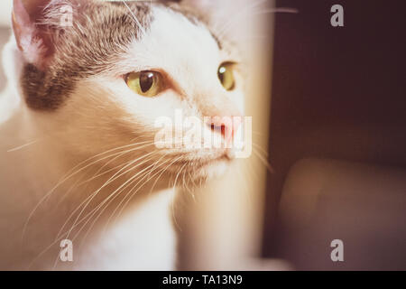 Curious ca black and white cat close upt face beautiful yellow eyes  looking. Cute kitten portrait - Stock Photo