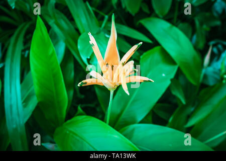 Orange Heliconia blossom Flower in the middle Dark Tropical Foliage green leaves Background - Stock Photo
