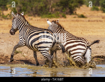 Two 2 plains Zebra Equus quagga quickly moving from waterhole with water splashing Sweetwaters Ol Pejeta Conservancy Kenya East Africa - Stock Photo