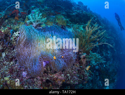Bioluminescent magnificent anemone with clownfish nestling in its tentacles on a steep coral reef with scuba diver looking on in blue water background - Stock Photo