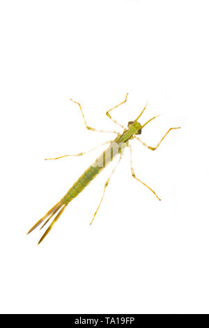 The larva, or nymph, of a banded demoiselle fly, Calopteryx splendens, found in the Dorset Stour river. It is seen here on a white background. Dorset  - Stock Photo