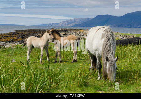 Highland pony mare and two foals - Stock Photo