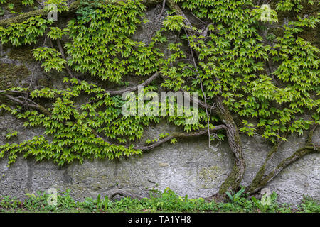 Green leaves of wild grapes weaving on a stone wall. - Stock Photo