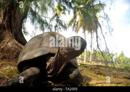 full body of Giant Tortoise Aldabrachelys Gigantea Hololissa, Curieuse Island, Seychelles - Stock Photo