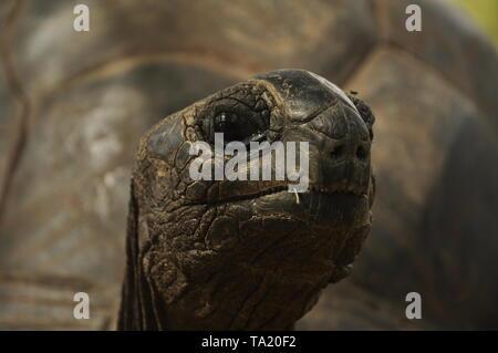 Headshot of Giant Tortoise Aldabrachelys Gigantea Hololissa, Curieuse Island, Seychelles - Stock Photo